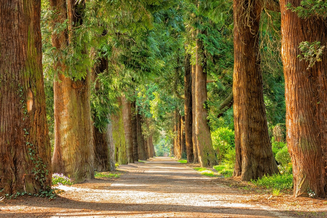 Tall trees flanking a dirt road